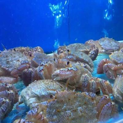 铁板烧红毛蟹